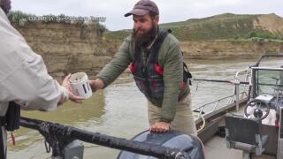 Biologists monitoring pallid sturgeon larvae in Upper Missouri River