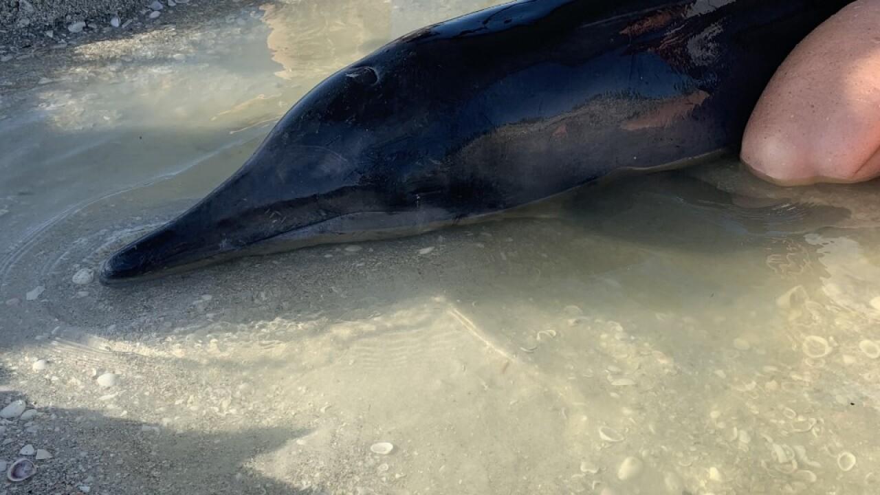 Dolphin stranding Sanibel 12-16-19 4.jpg