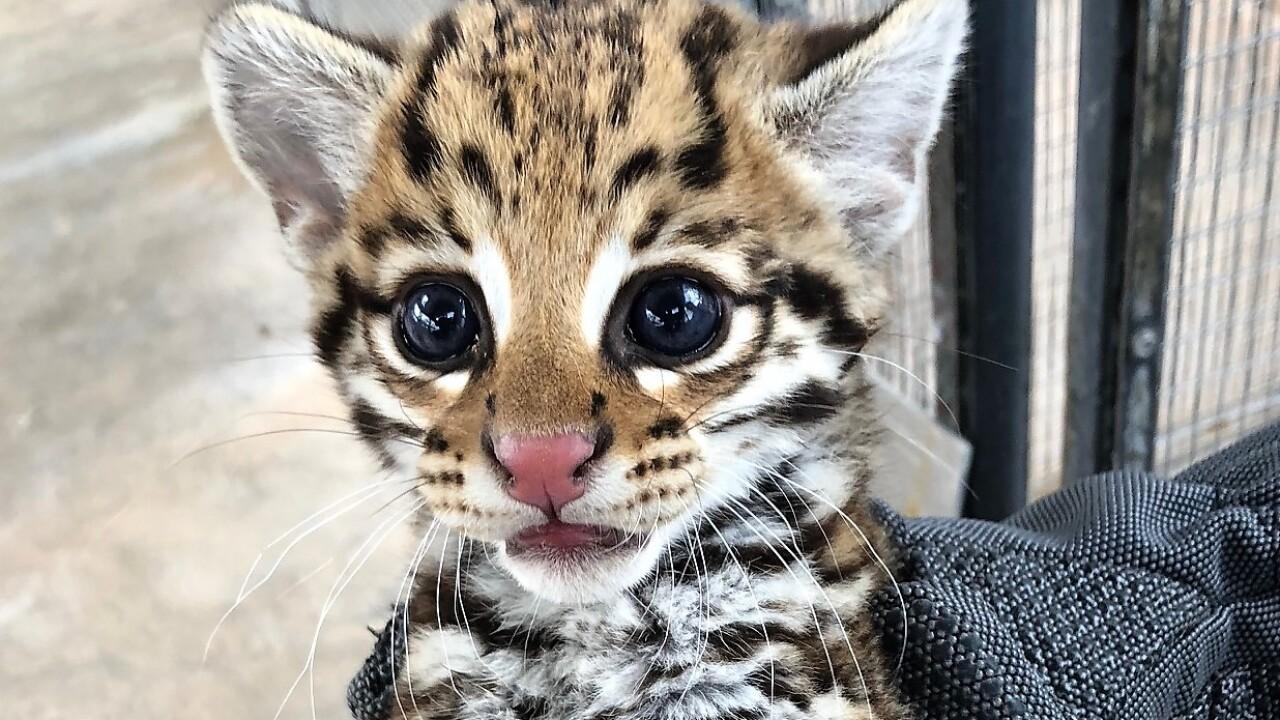 How Cincy zoo scientists helped this endangered species