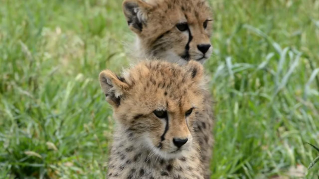 7 cheetah cubs now on exhibit at Metro RichmondZoo
