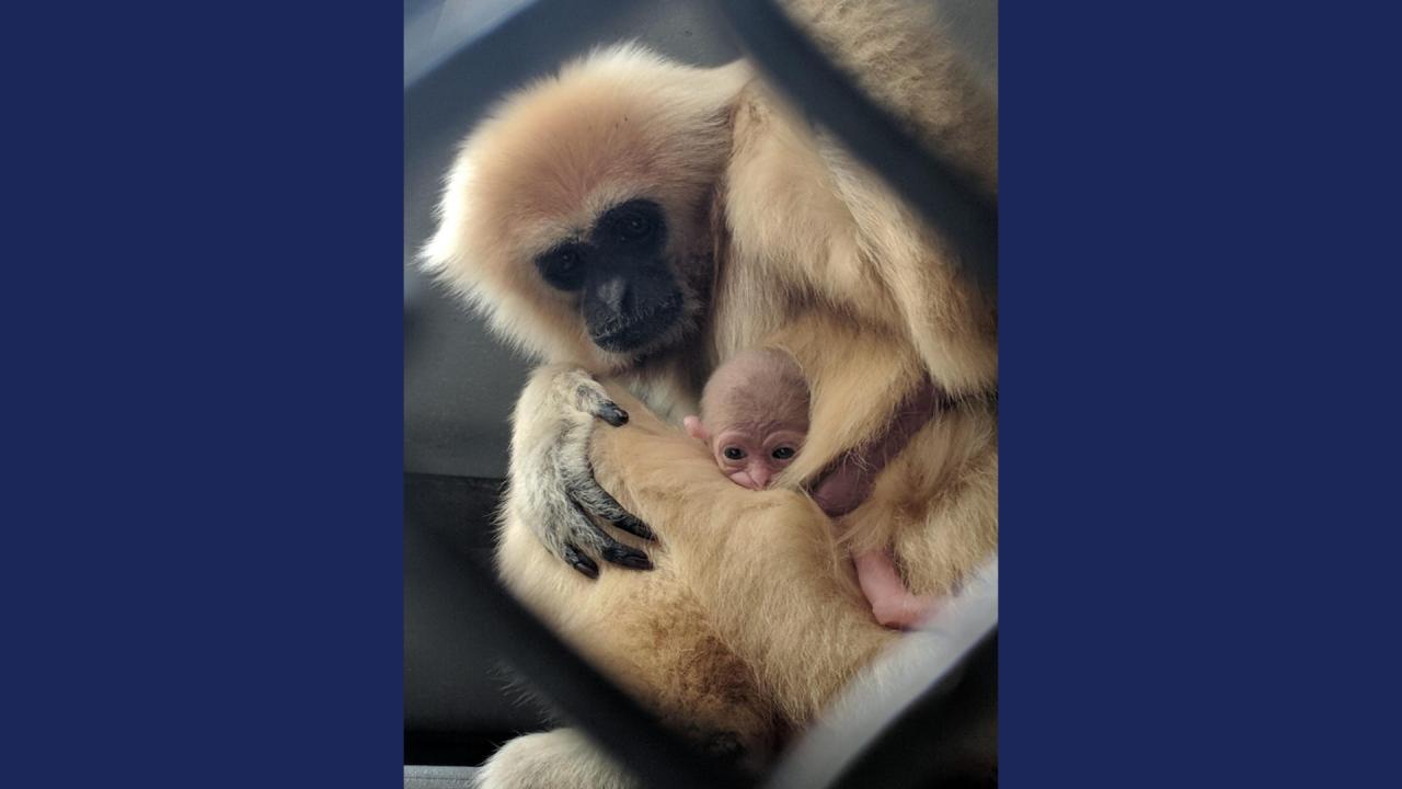 gibbon monkey baby