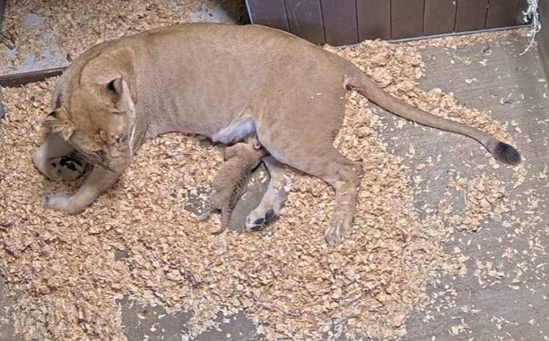 SB Zoo baby lion.JPG