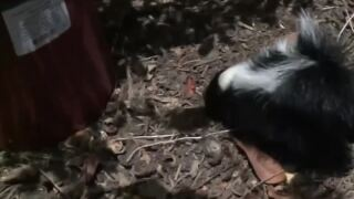 What's that smell? Skunks out and about