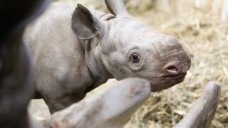 potter park zoo black rhino calf 4.JPG