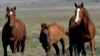 Agency to sterilize mustangs for first time to slow growth