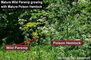 Wild Parsnip - Poison Hemlock 3_0.jpg