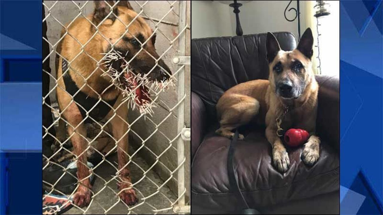 Oregon police dog recovering after porcupine attack