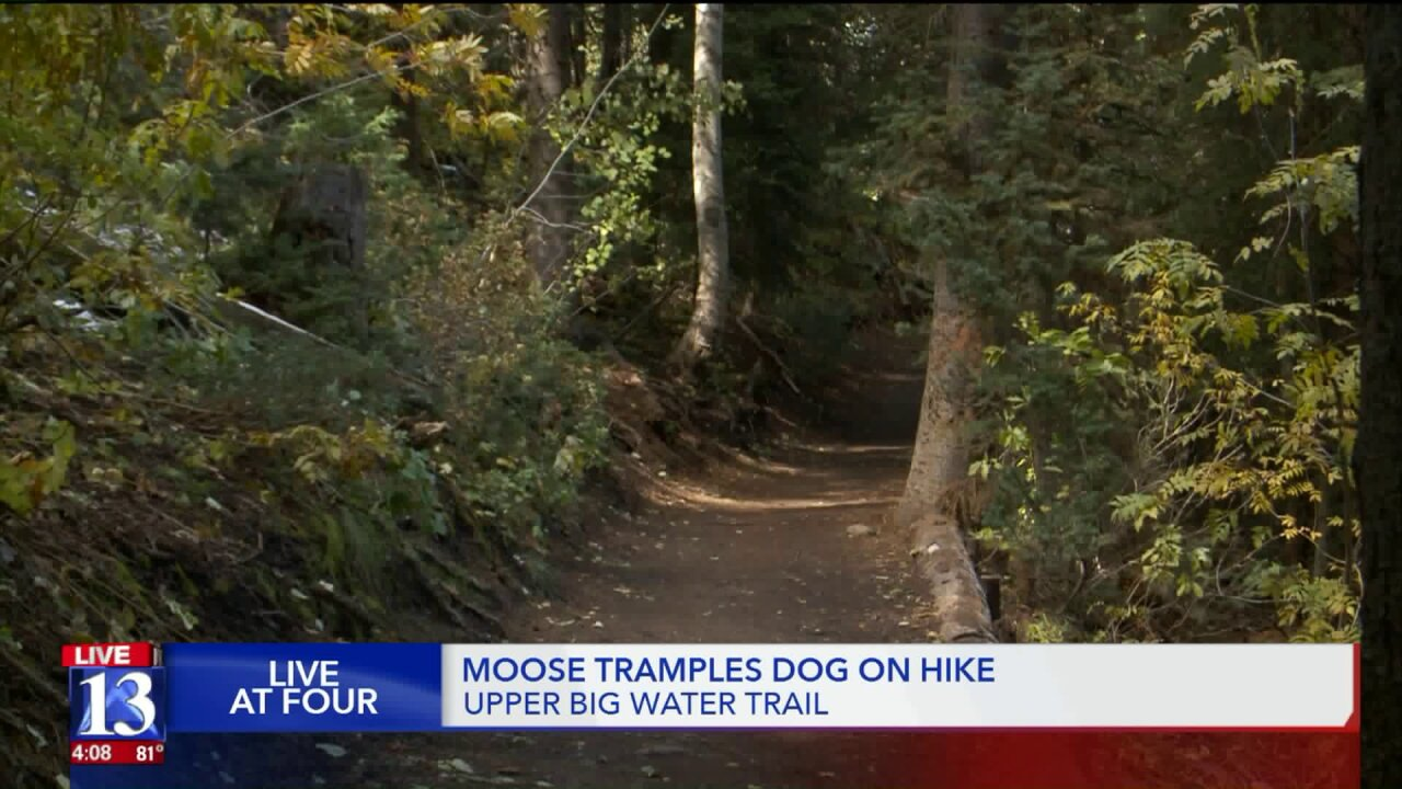 Husky trampled by moose on Utah hiking trail