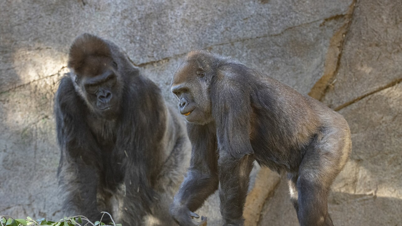 San Diego Zoo Safari Park Gorillas Recovering After SARS-CoV-2 Diagnosis