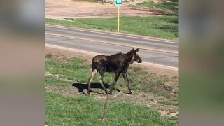Moose spotted outside Monument Police Department
