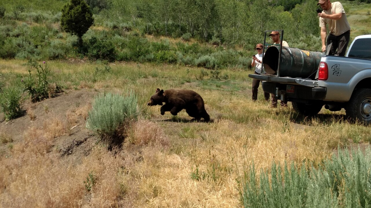 Bear released into the wild after raiding Park City man'skitchen