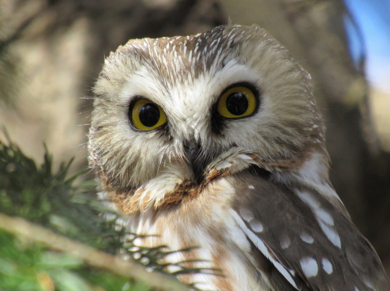 Hoo there? The Northern Saw-whet Owl, that's hoo