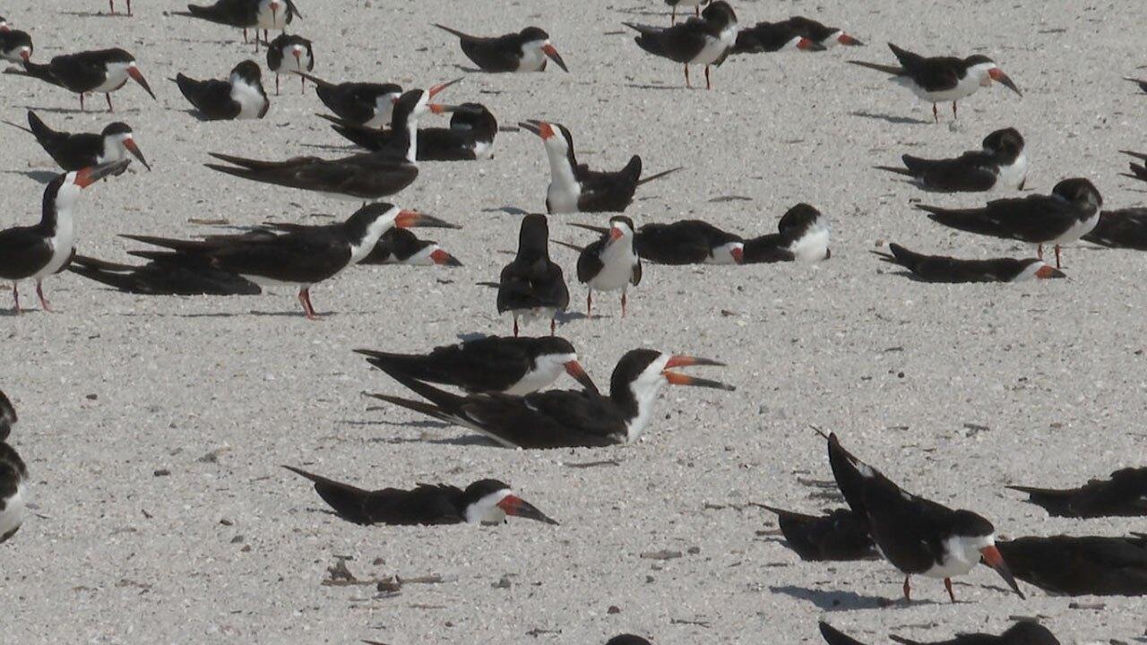 Black-Skimmer-shorebirds-WFTS-LANE-2.jpg