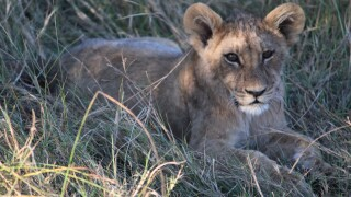 Young-lion-cub-in-Botswana.jpg