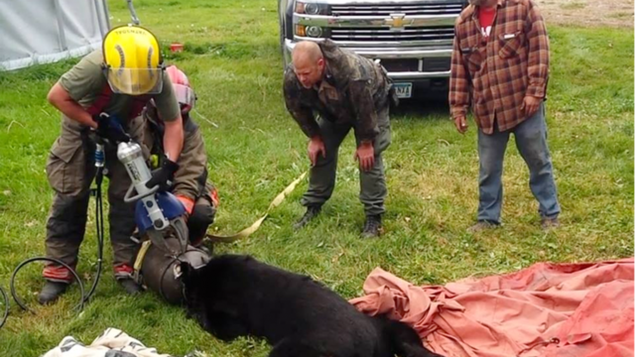 'Jaws of Life' used to free bear with head stuck in milk can
