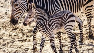 Baby zebra born January 15 at Utah's Hogle Zoo
