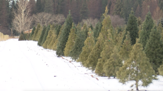 Montana Ag Network: Bigfork Christmas tree farm