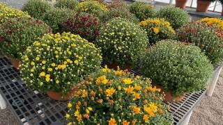 Jardon Flower Sale