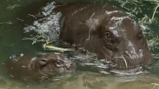 Pygmy hippo calf born at San Diego Zoo