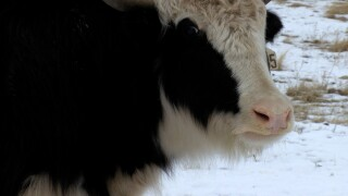 Spring Brook Yak Ranch in Flathead Valley offers exotic meats to residents