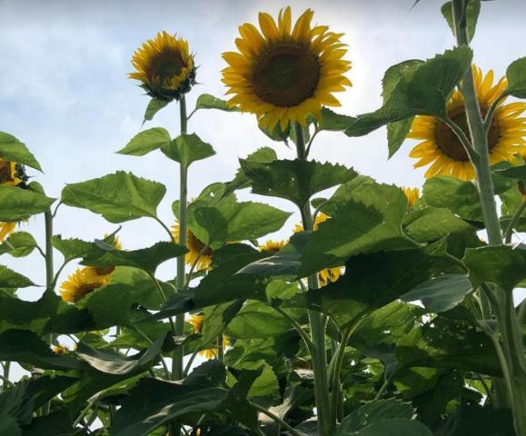 Sunflower Days return to Pope Farm Conservancy.