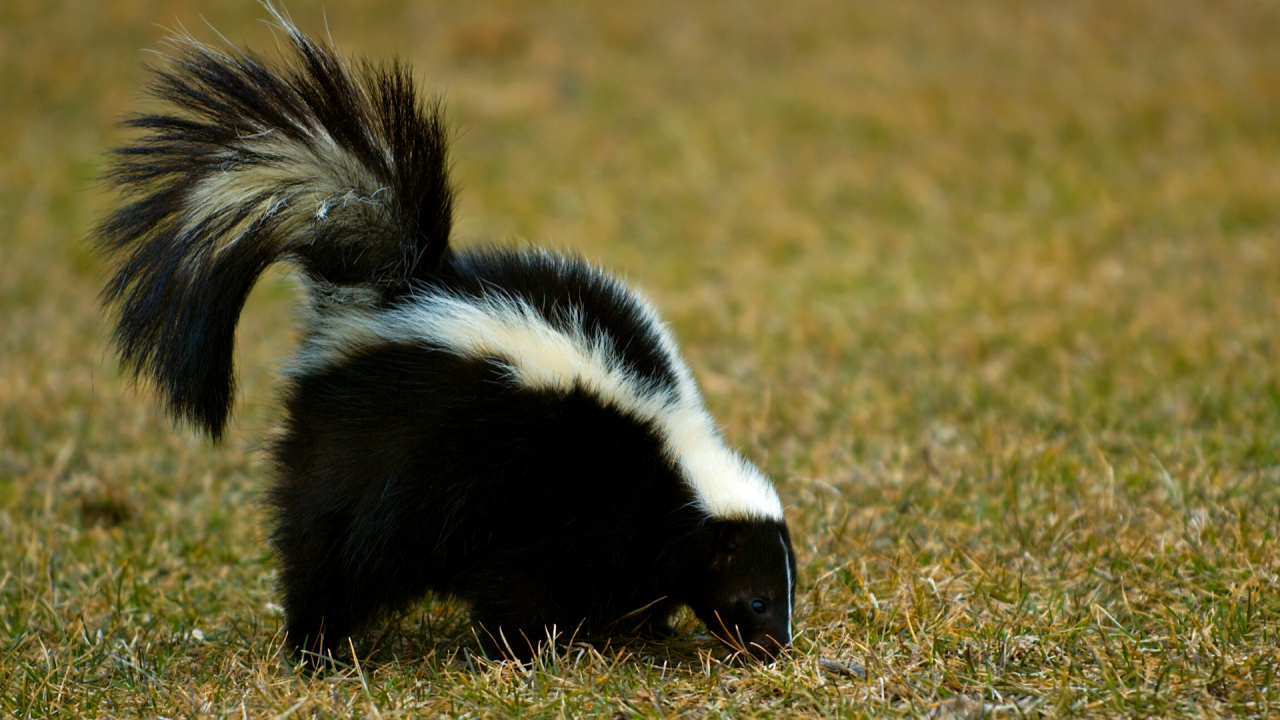 File photo of a skunk