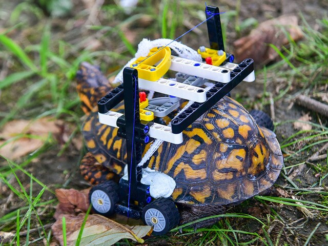 """Turtle rolls to recovery on LEGO """"wheelchair,"""" Maryland Zoo says"""
