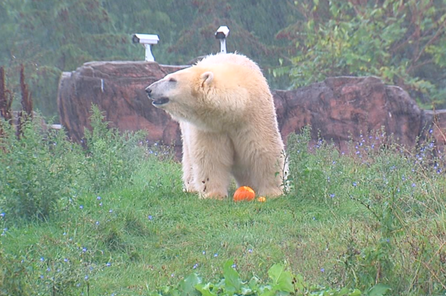 Photo gallery: Detroit Zoo animals smash pumpkins for fall