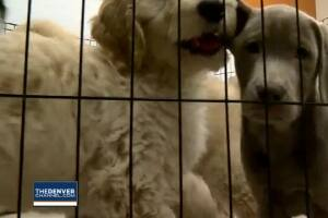 Colorado lawmakers discussing banning sales of dogs and cats at pet stores