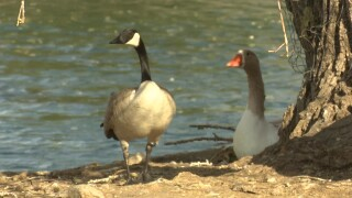 Waterfowl rounded up at Gibson Pond