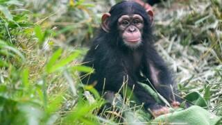 maisie the chimp