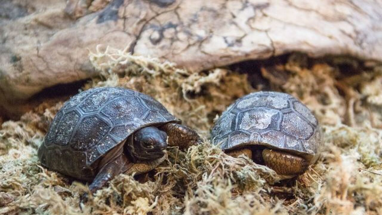 25 Aldabra tortoises hatch at Tulsa Zoo
