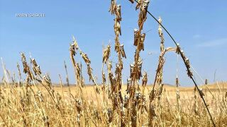 Grasshopper outbreak plagues farmers and ranchers