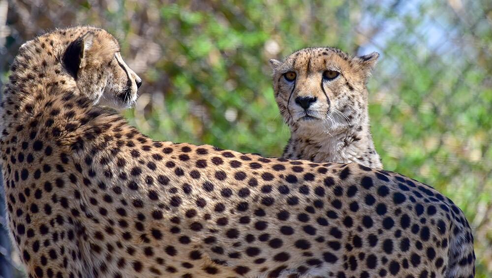 Zoo_Cheetah_07.jpg