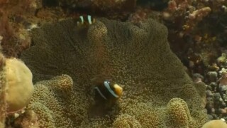 Climate change affecting Clownfish