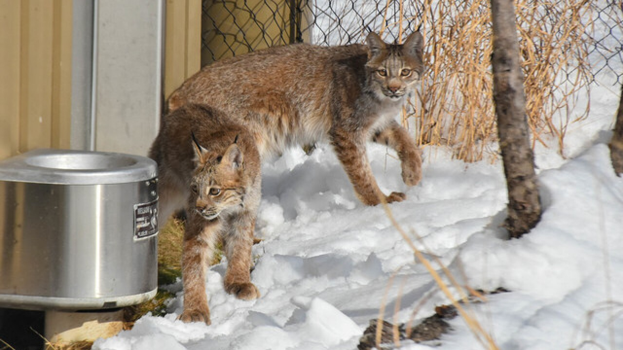 Buffalo Zoo welcomes two Canada lynx to the family