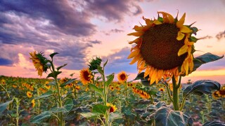 jeff howe sunflowers.jpg