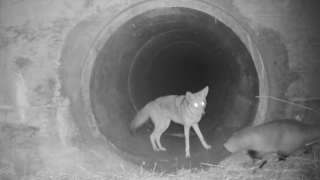 Coyote, badger travel under California highway together in video reminiscent of Disney movie