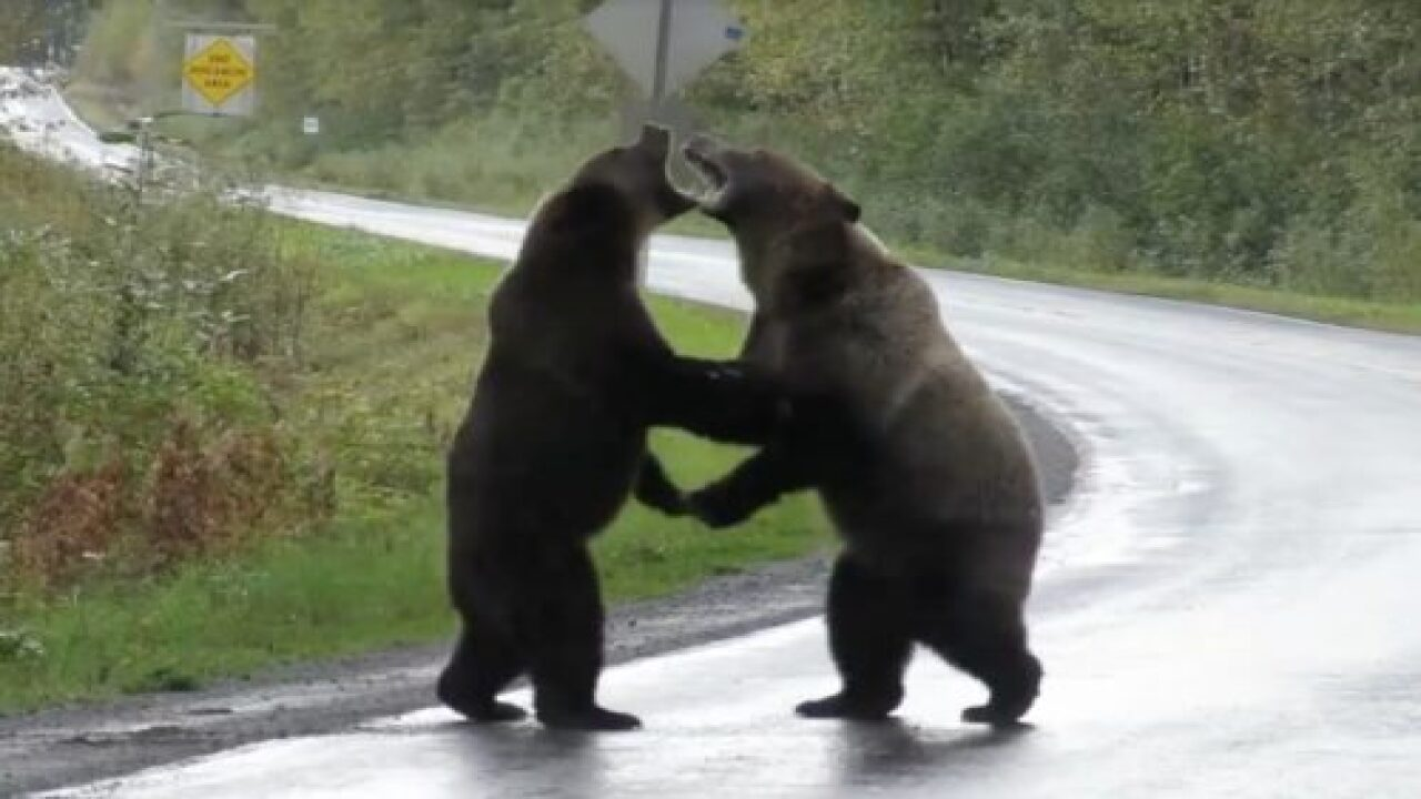 This Viral Video Shows 2 Grizzly Bears Fighting In The Middle Of A Highway