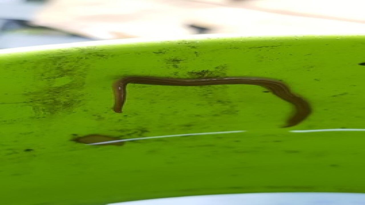 Invasive, dangerous worms found in Florida