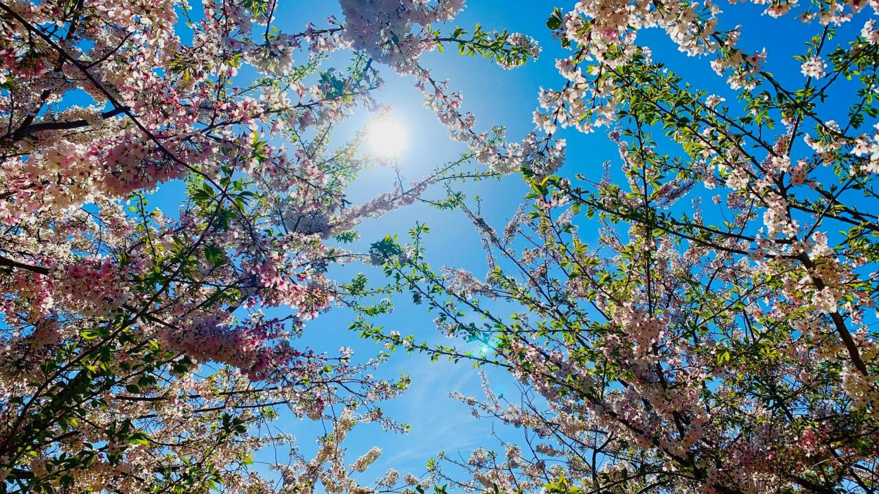 Mostly Sunny Cherry Blossoms.jpg
