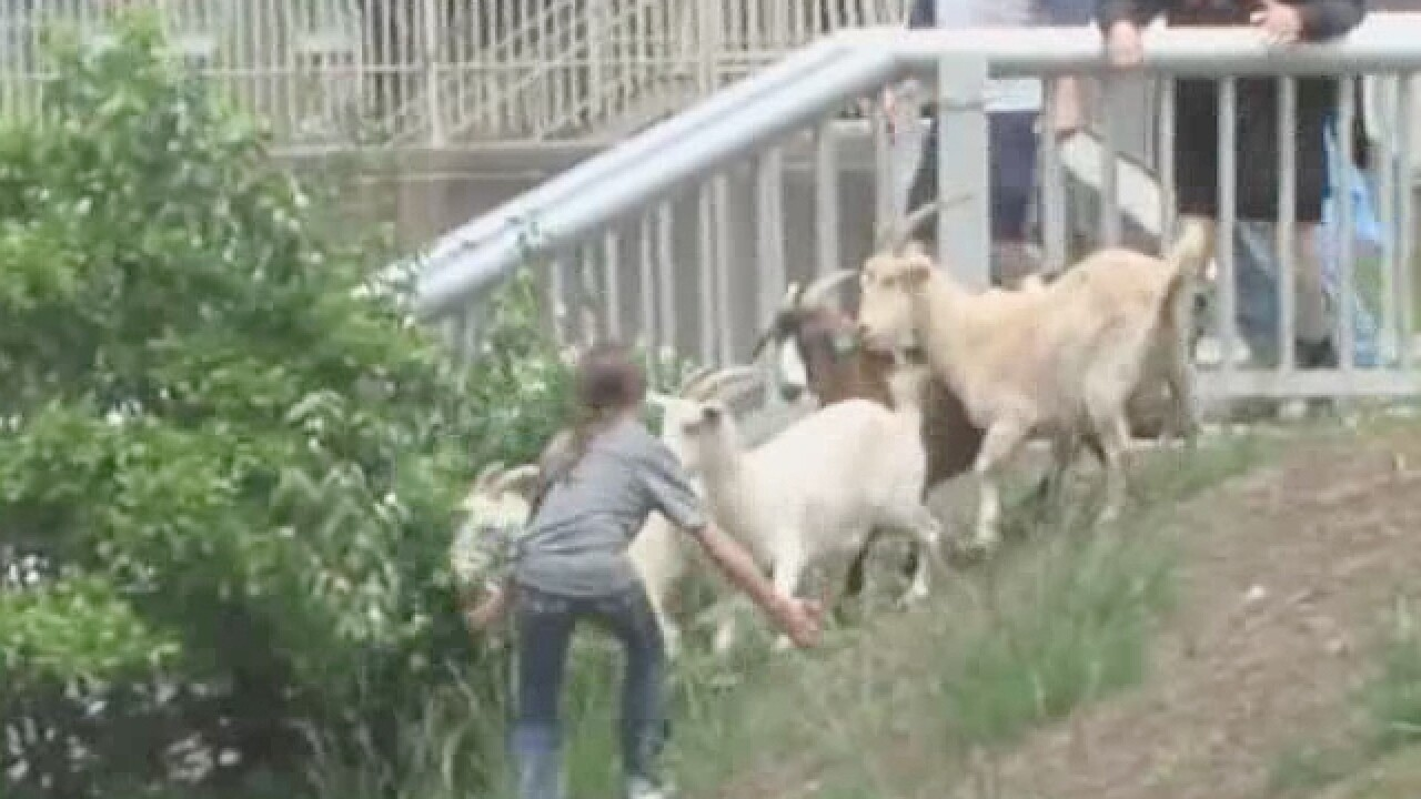 Goats go rogue and stampede through the Cov