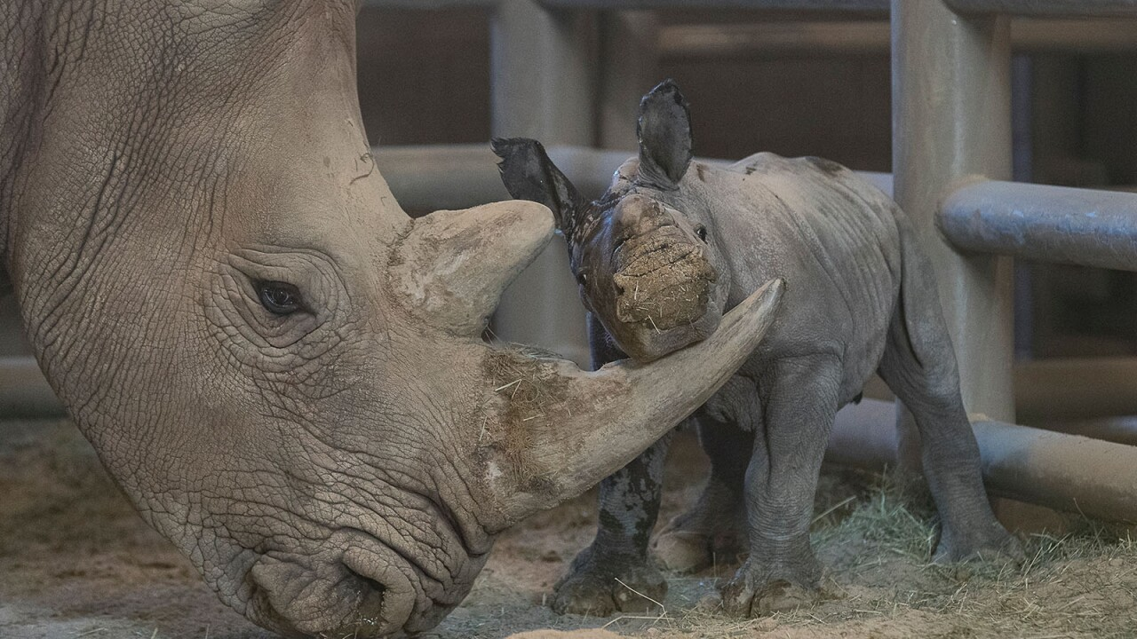 Southern White Rhino Calf Conceived Through Artificial Insemination Bonding Well with Its Mother at San Diego Zoo Safari Park  A 4-day-old female southern white rhino calf bonds with her mother at the Nikita Kahn Rhino Rescue Center at the San Diego Zoo