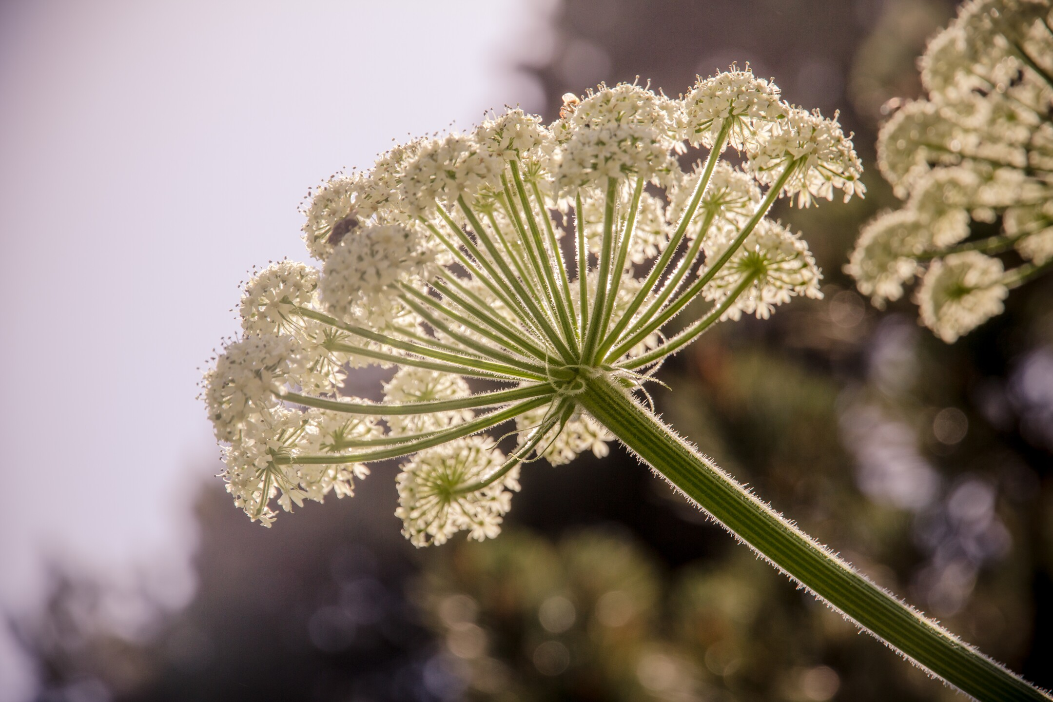 Photos: Sightings of dangerous Giant Hogweed plant reported inVirginia