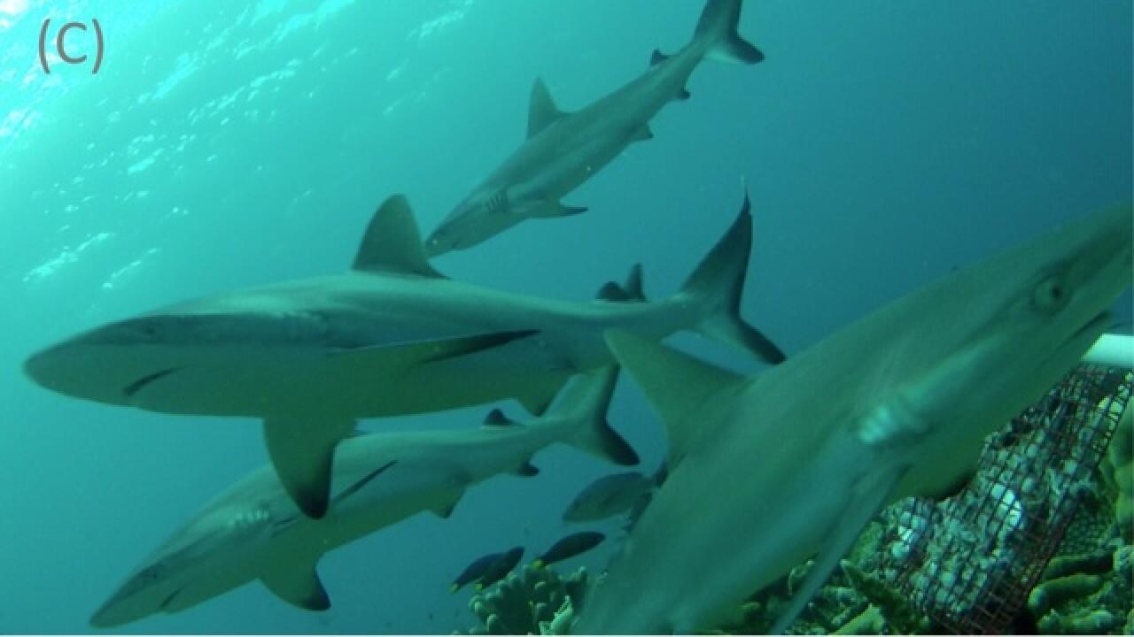 Shark population in danger due to fin harvesting