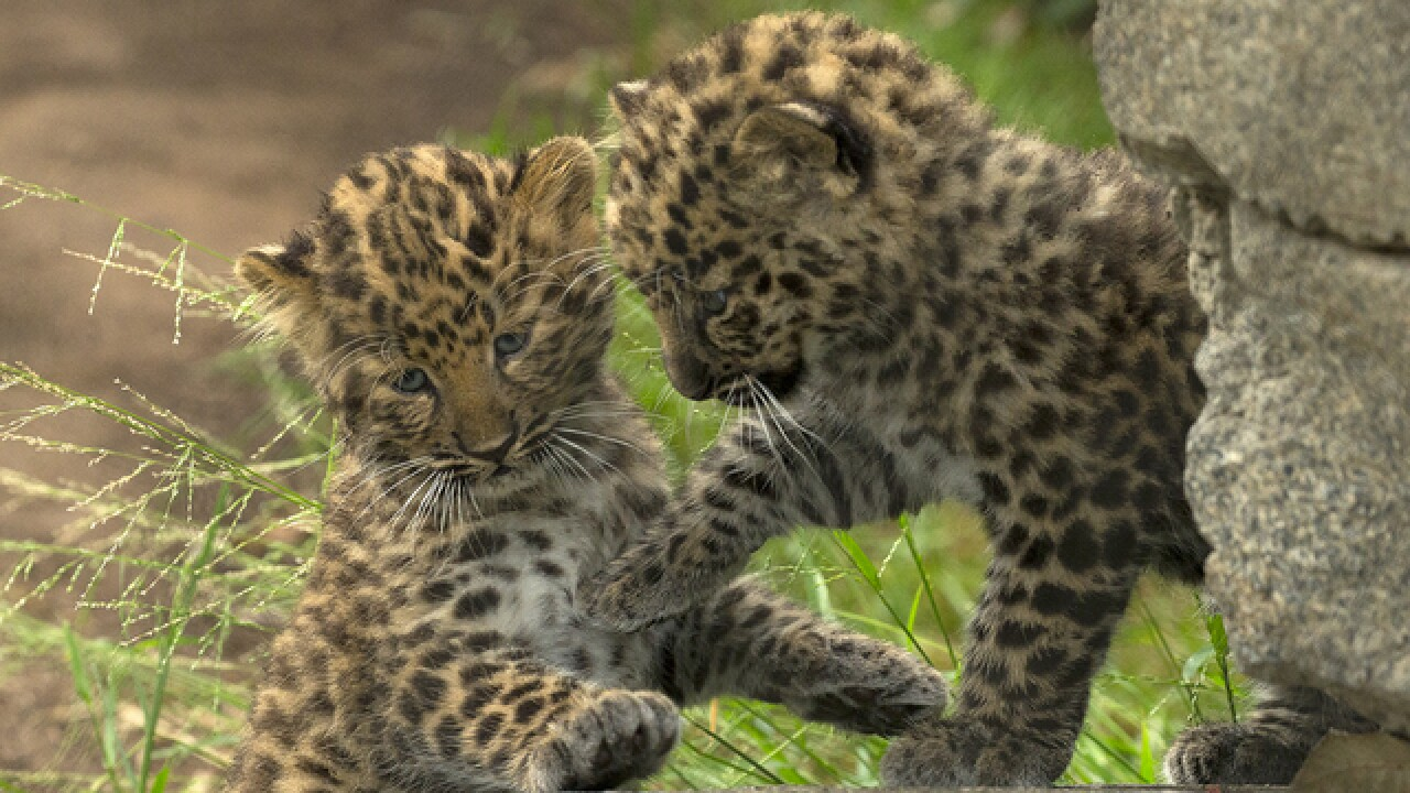 SD Zoo welcomes birth of 'rarest' leopard cubs