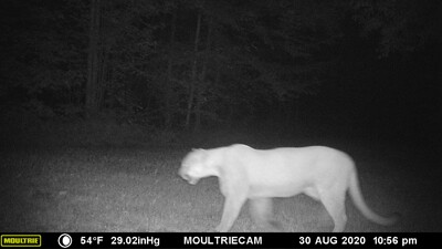 Cougar sighting Aug 30 2020.jpg