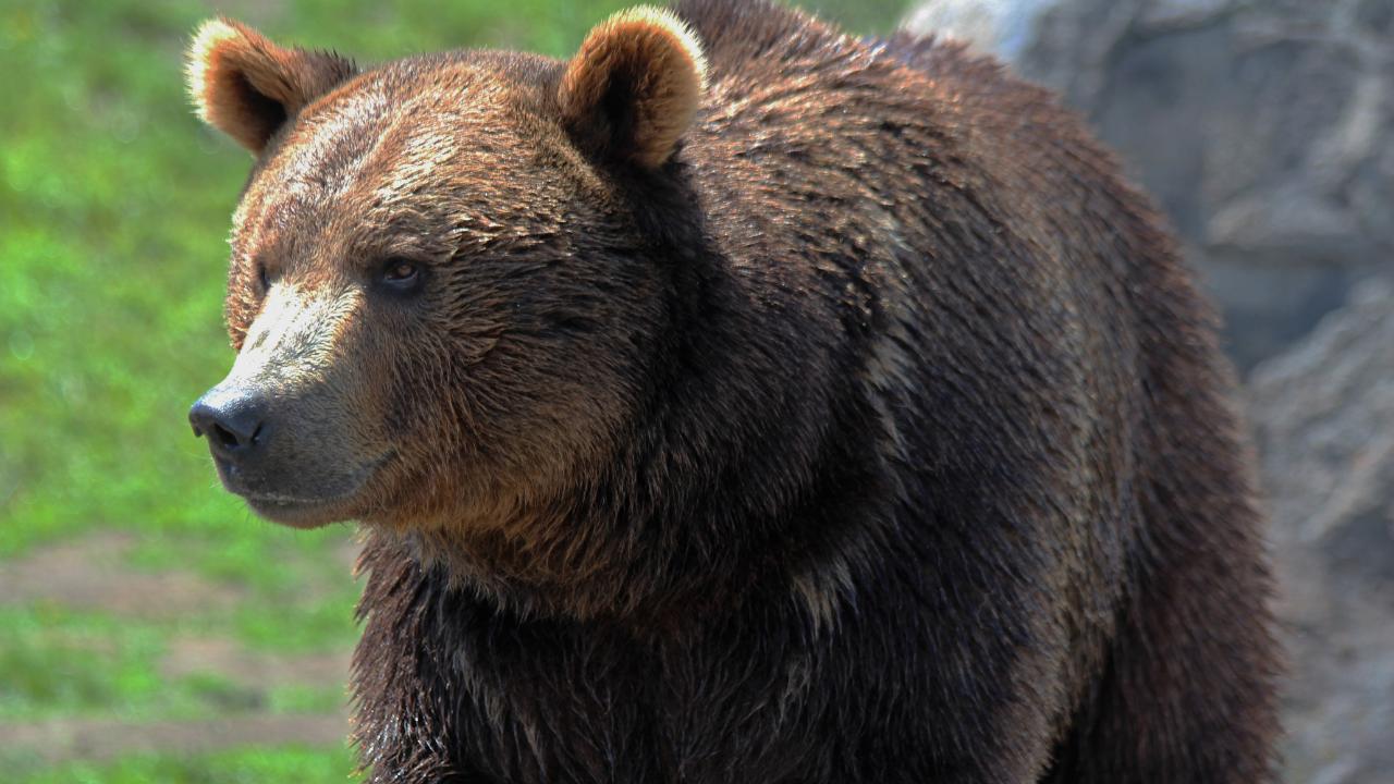 GRIZZLY BEAR (MTN News)