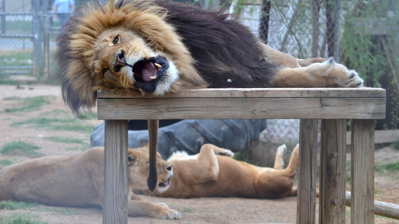 22-year-old intern killed by lion at zoological park in North Carolina after it escapes enclosure