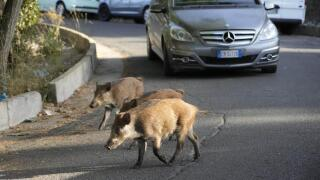 AP Images Wild Boars
